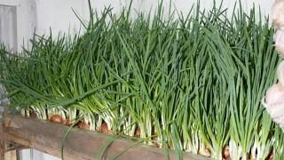 Выращивание лука в гараже